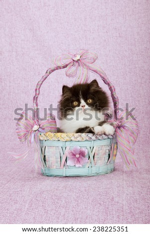 Black and white Persian kitten sitting inside blue and pink basket on pink background
