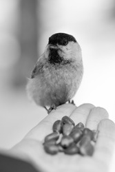 black and white photo, a small bird on the palm of your hand eating nuts