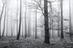 Black and white photo - forest, bare trunks, fog in the background, leaves on the ground and branches, no snow