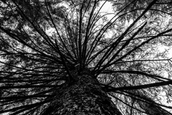 black and white photo from under a pine tree towards Lake Tret in Fondo, in the Valle di Non in Trento, Italy