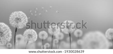 black-and-white photo landscape of white dandelions Foto stock ©