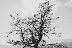Black and white photo of a dead pine tree full of pine cones