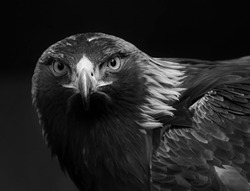 black and white photo of a golden eagle in captivity in a zoo