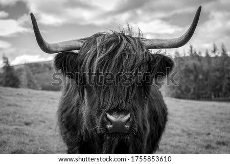 Black and white photo of a highland cow in the Scottish countryside. Stock photo ©