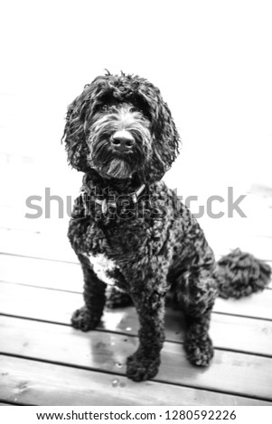 Black labradoodle Images and Stock Photos - Page: 3 - Avopix com