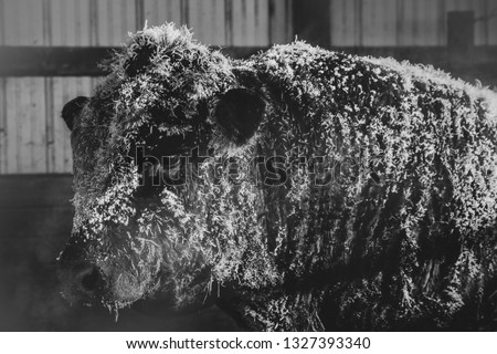 Black and white photo of a large limousine beef bull covered in frost on a cold winter day.  It's a cold winter day that you can see the steam from his breath.