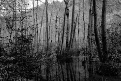 Black and white photo of a swamp in the Czech Republic. Natural obscure dark background with trees and water.