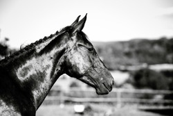 black and white photo of horse posing on the field