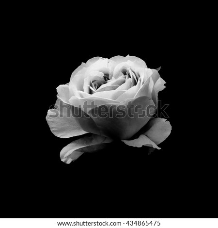 Black and white photo of rose bloom on black background #434865475