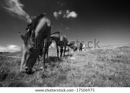 Black and white photo of some horses