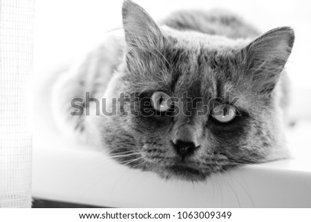 Black and white photo. Sad grey cat lies on the window seel and look straight.