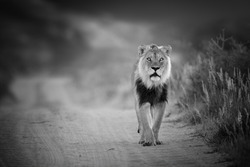 Black and white photo, wild Kalahari lion, Panthera leo, black mane lion walking on sandy road, direct view, low angle, staring at camera. Eye contact with wild lion. Kgalagadi, Botswana.