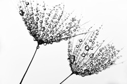 Black and white photo with dandelions. Dandelion seeds with water droplets on white isolated background.
