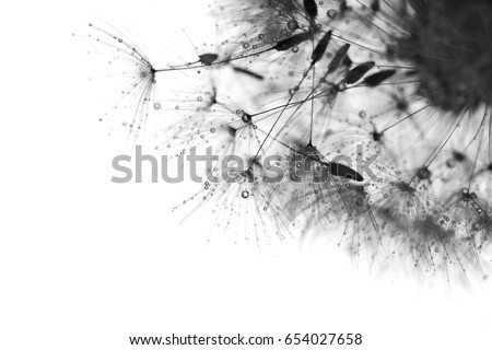 Black and white photo with the dandelions . Macro of dandelion with drops .