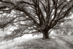 Black and white photograph of a giant oak tree on a misty morning on a California hillside