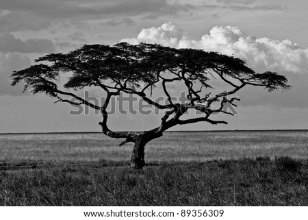 Black and white photograph of a huge tree in the Serengeti National Park
