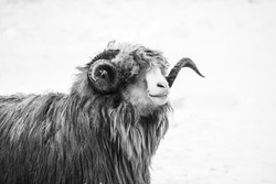 Black and white photograph of a ram in winter