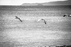 black and white photography of seagulls flying on the sea