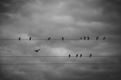 Black and white photography of wild birds sitting on the wires on a background of dark stormy clouds in dramatic gray sky