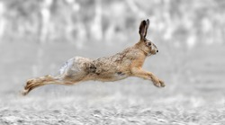 Black and white photography with color run hare
