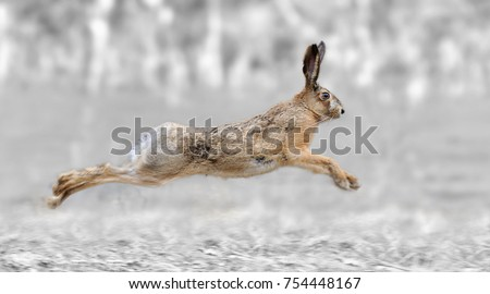 Black and white photography with color run hare Сток-фото ©