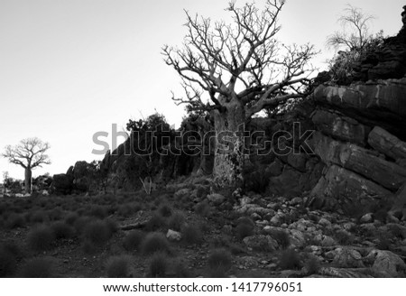 Black and White picture Boab trees bottle-like appearance growing in Western Australia.