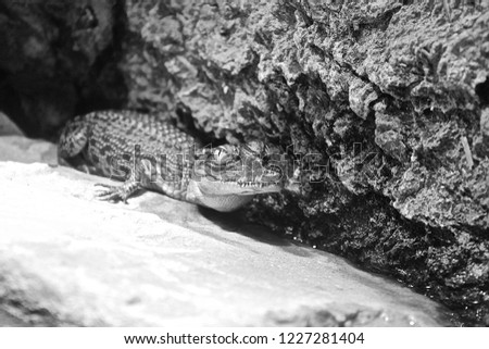 Black and white picture of a baby alligator