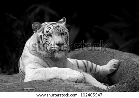 Black and white picture of a White tiger in a tropical forest