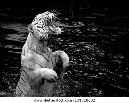 Stock Photo Black and white picture of a white tiger standing in water
