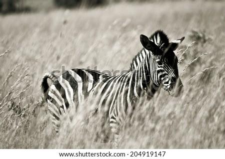 Black and white picture of a zebra in grassland