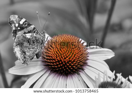 Black and white picture of admiral butterfly sitting on flower with orange accented center.
