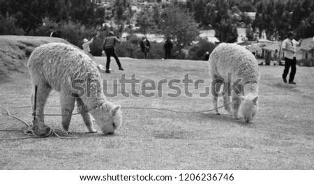 black and white picture of alpaca