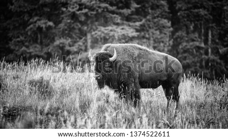 Black and white picture of big bison with smoke over his neck standing in high, dry grass with trees in background at Yellowstone National Park.