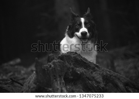 Black and white picture of border collie dog looking into camera blurred background