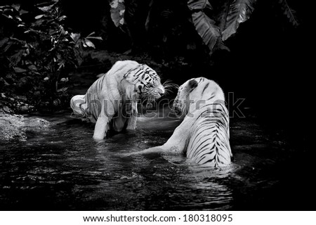Stock Photo Black and white picture of two White Tigers