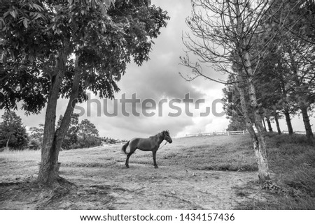 Black and white pictures of horses raised within the farm, grasslands and pine trees.Horses raised in a farm in Thailand.1 horse.Loneliness and loneliness.Life is very simple. #1434157436