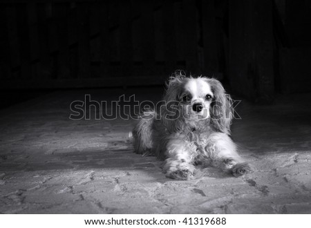 Black and white portrait of a Cavalier King Charles spaniel on old stone floor with copy space