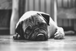 Black and white portrait of a cute pug