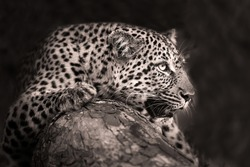 Black and White portrait of a Leopard photographed on safari in South Africa