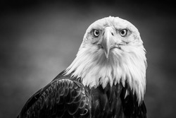 Black And White Portrait Of Amazing American Bald Eagle In The ZOO
