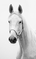 Black and white portrait of Hannoverian mare