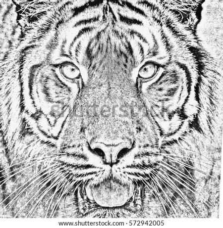 black and white portrait of sumatran tiger (Panthera tigris sumatrae) in abstract color #572942005