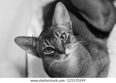 Black and white portrait of young Abyssinian cat.