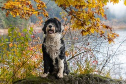 Black and white Portuguese Water Dog on an autumn day at Matheson Lake Regional Park in British Columbia, Canada