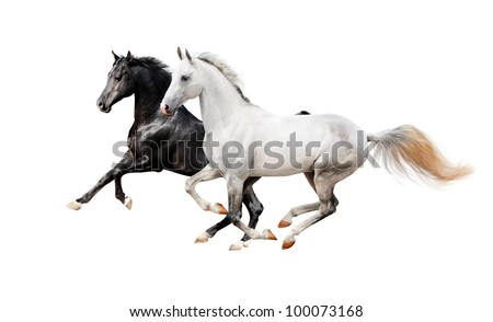 black and white pureblood horses