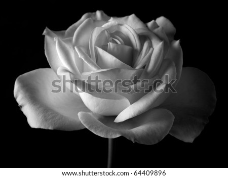 black and white rose in bloom over black background