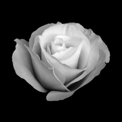 Black and White Rose Isolated on a Black Background