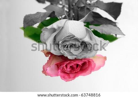 Crno-bijelo u boji - Page 7 Stock-photo-black-and-white-rose-mirrored-in-color-63748816