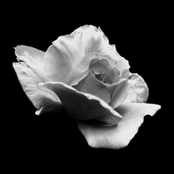 Black and White Rose on a Black Background