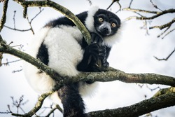 Black And White Ruffed Lemur From Madagascar, In Colour